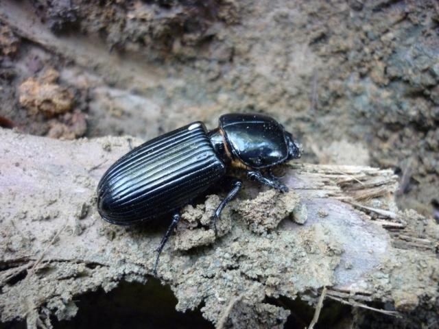 Escarabajo descansando sobre la tierra. Foto: Javier Montenegro.