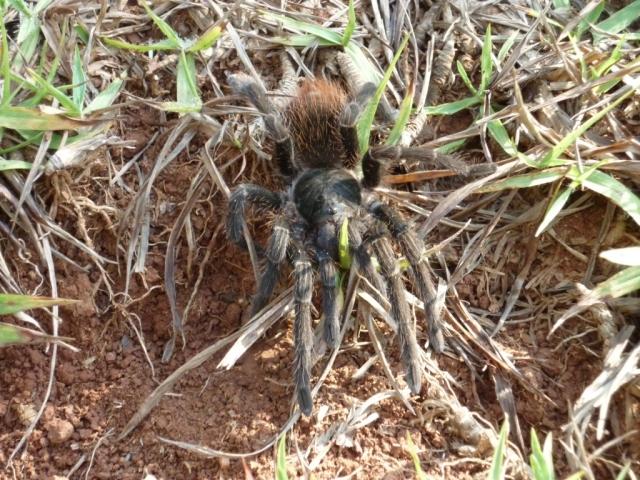 Araña paseando a sus anchas por el monte. Foto: Javier Montenegro.